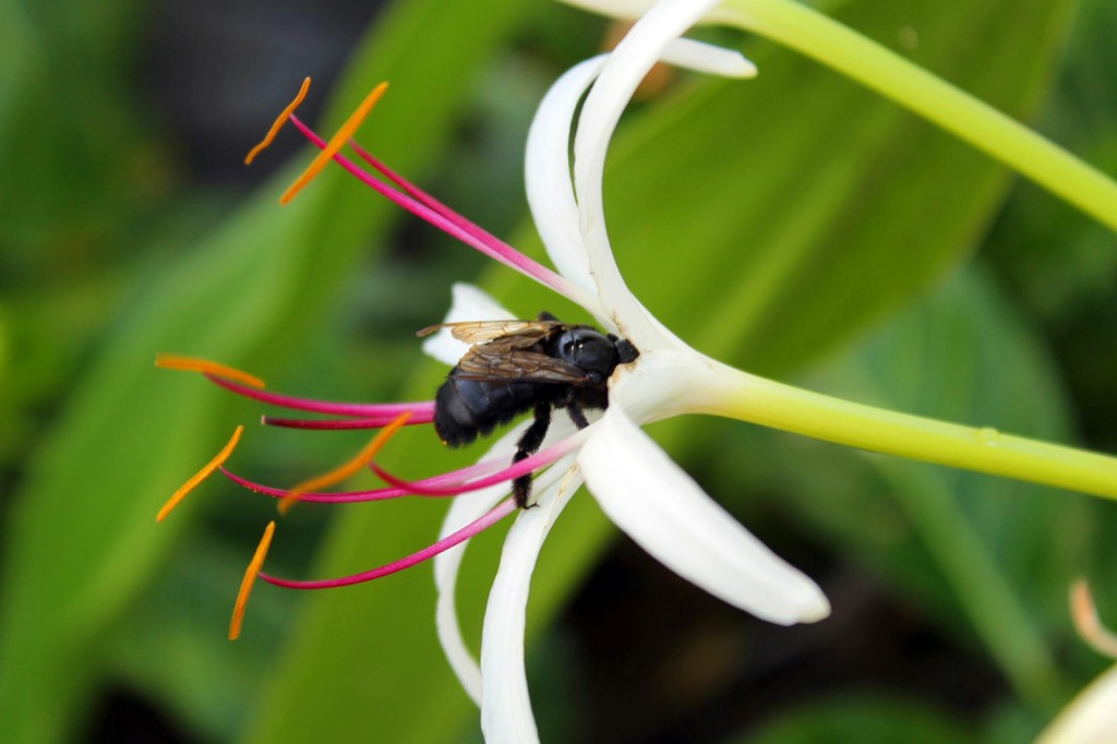 Bee in Crinum Lily