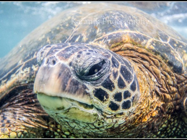 hawaii-sea-turtle