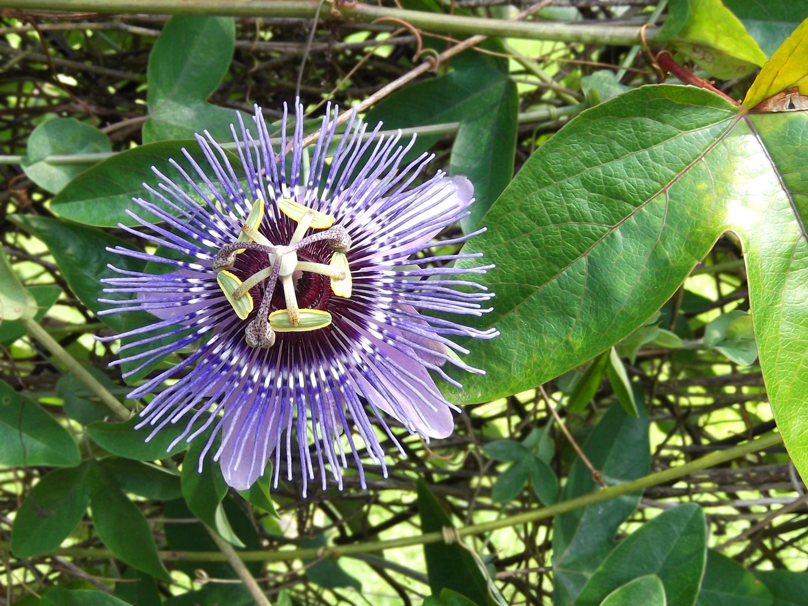 Purple Passion Flower Hawaii