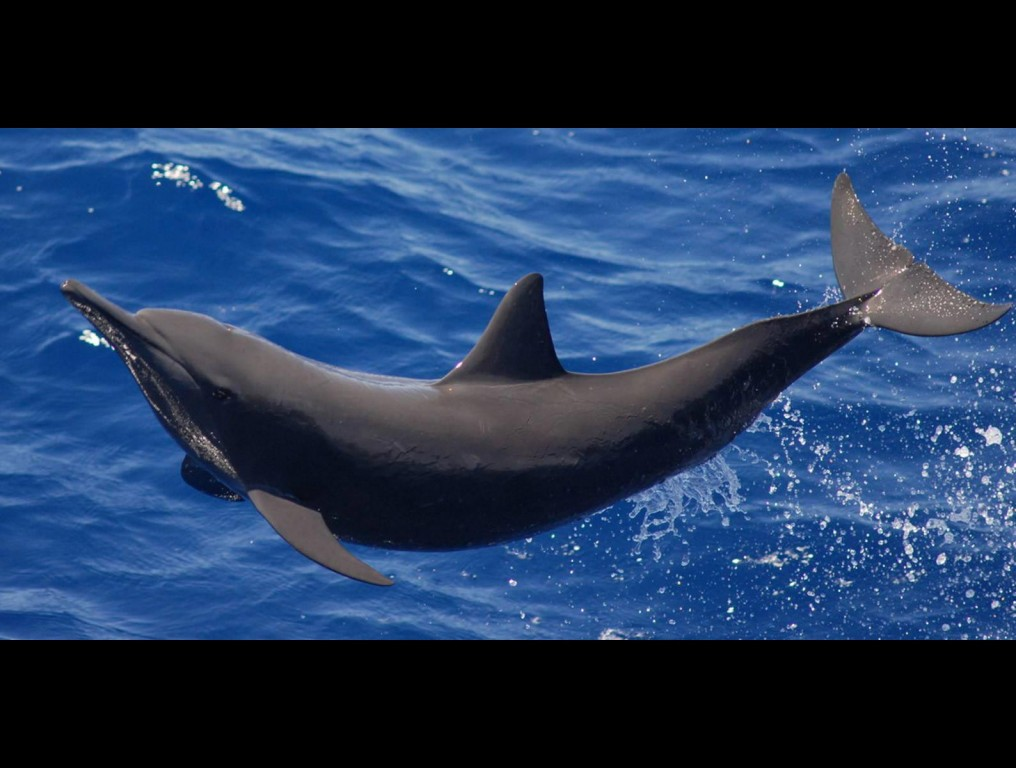 Eastern Spinner Dolphin