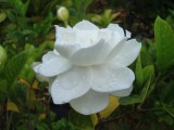 gardenia-bloom