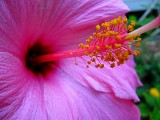 hibiscus-close-up