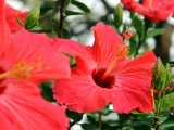 hibiscus-kis