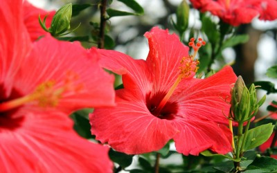 hibiscus-kis