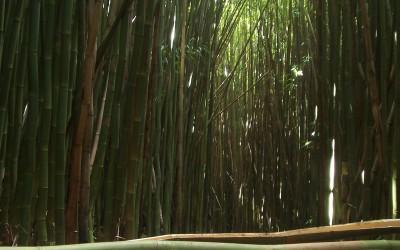 Pipiwai Trail Bamboo
