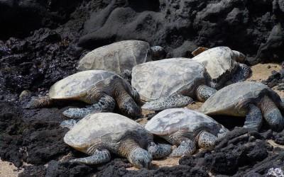 Honu Ohana: Turtle Family Nap