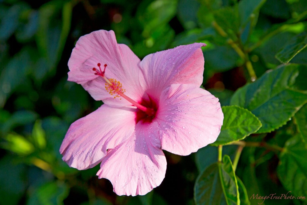 Pink Hibiscus in Hawaii