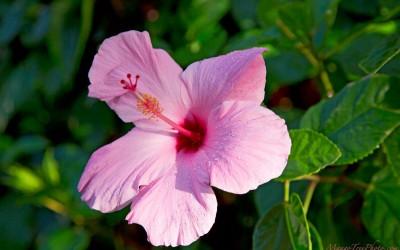 Pink Hibiscus in Hawaii