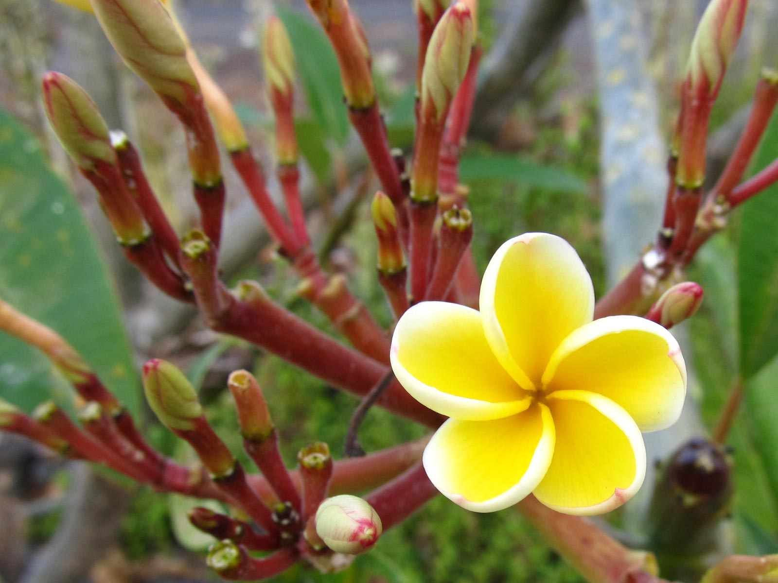 Early Bloomer, Yellow Plumeria