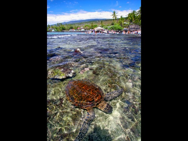Kahaluu Sea Turtle