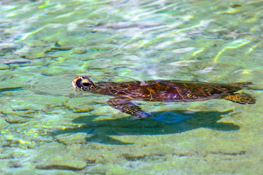 Baby Green Sea Turtle