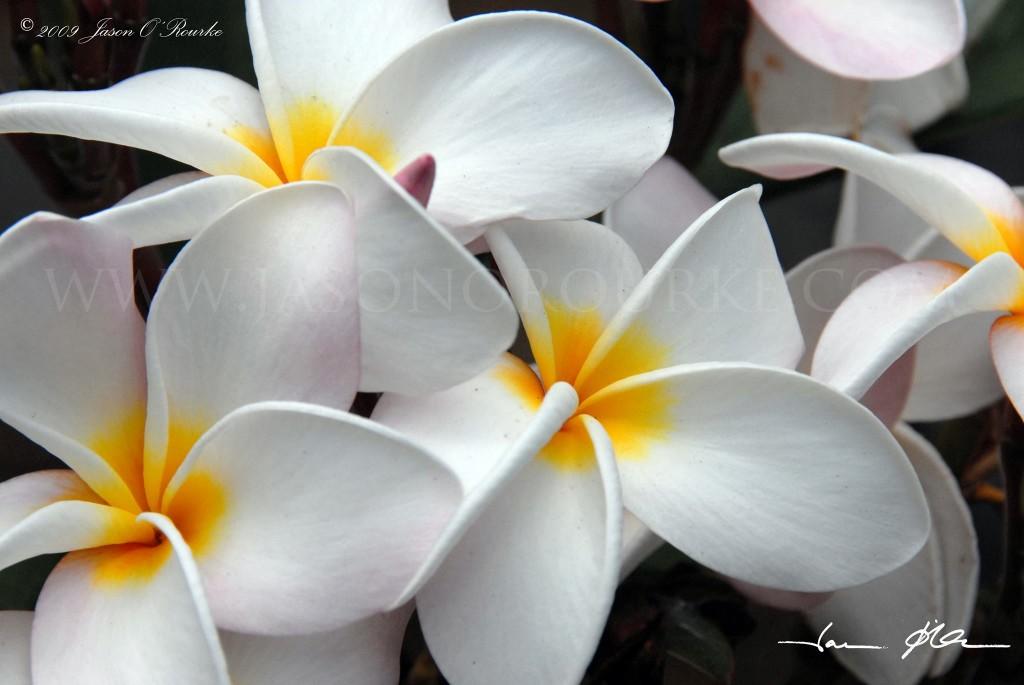 Waianae Plumeria