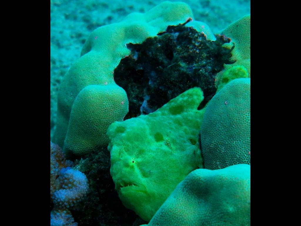 Yellow Frog Fish