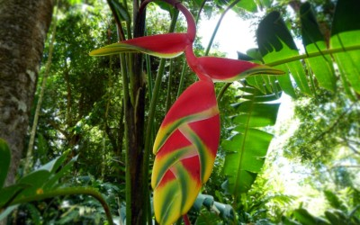 Hangin Lobster Claw Heliconia