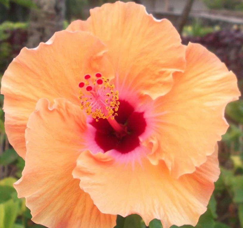 Pretty Peach Hibiscus Hawaii Pictures