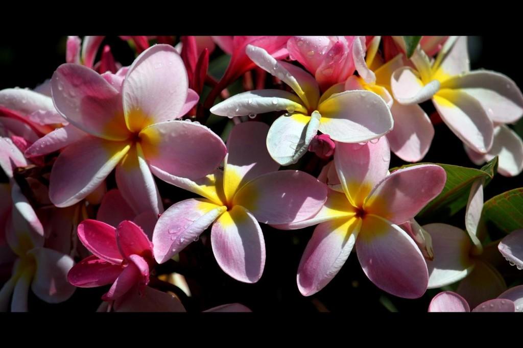 Pink Plumeria Bunch