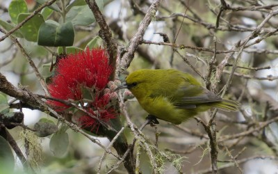 Hawaiian Amakihi Bird