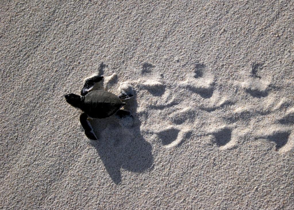 Baby Green Sea Turtle heading to sea