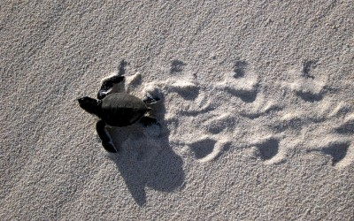 Baby Green Sea Turtle heading to sea