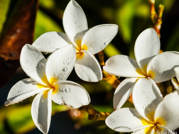 White Plumeria with Yellow Center