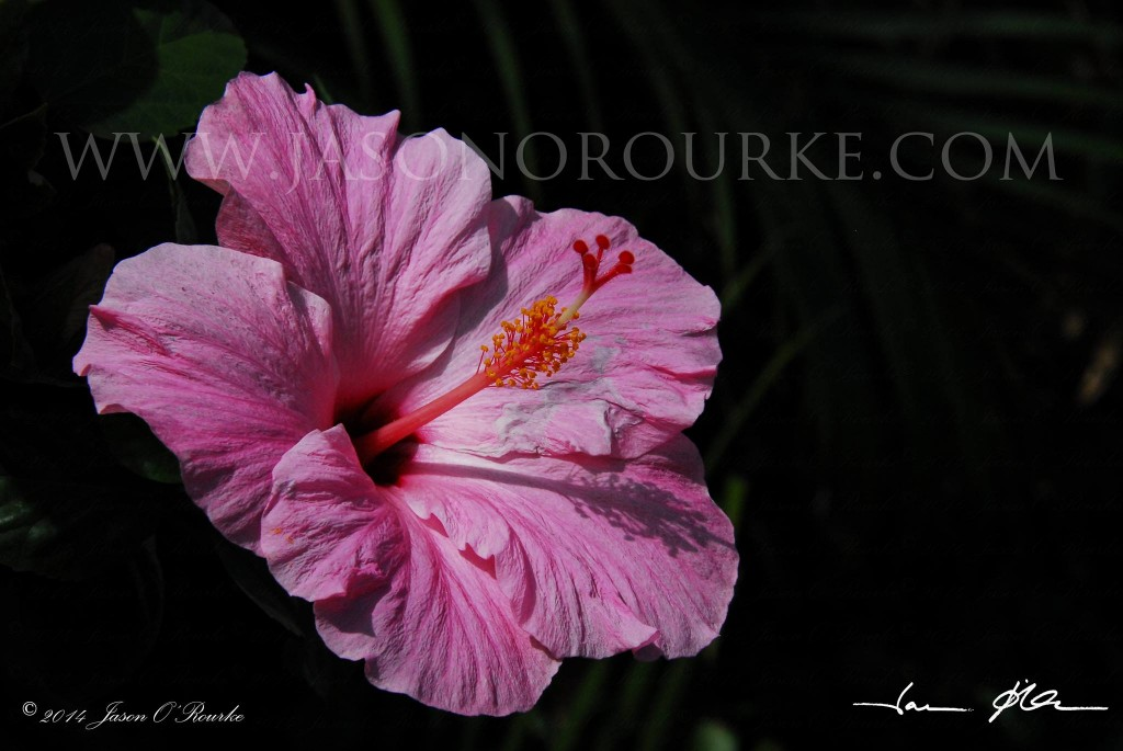 Shadowy Pink Hibiscus