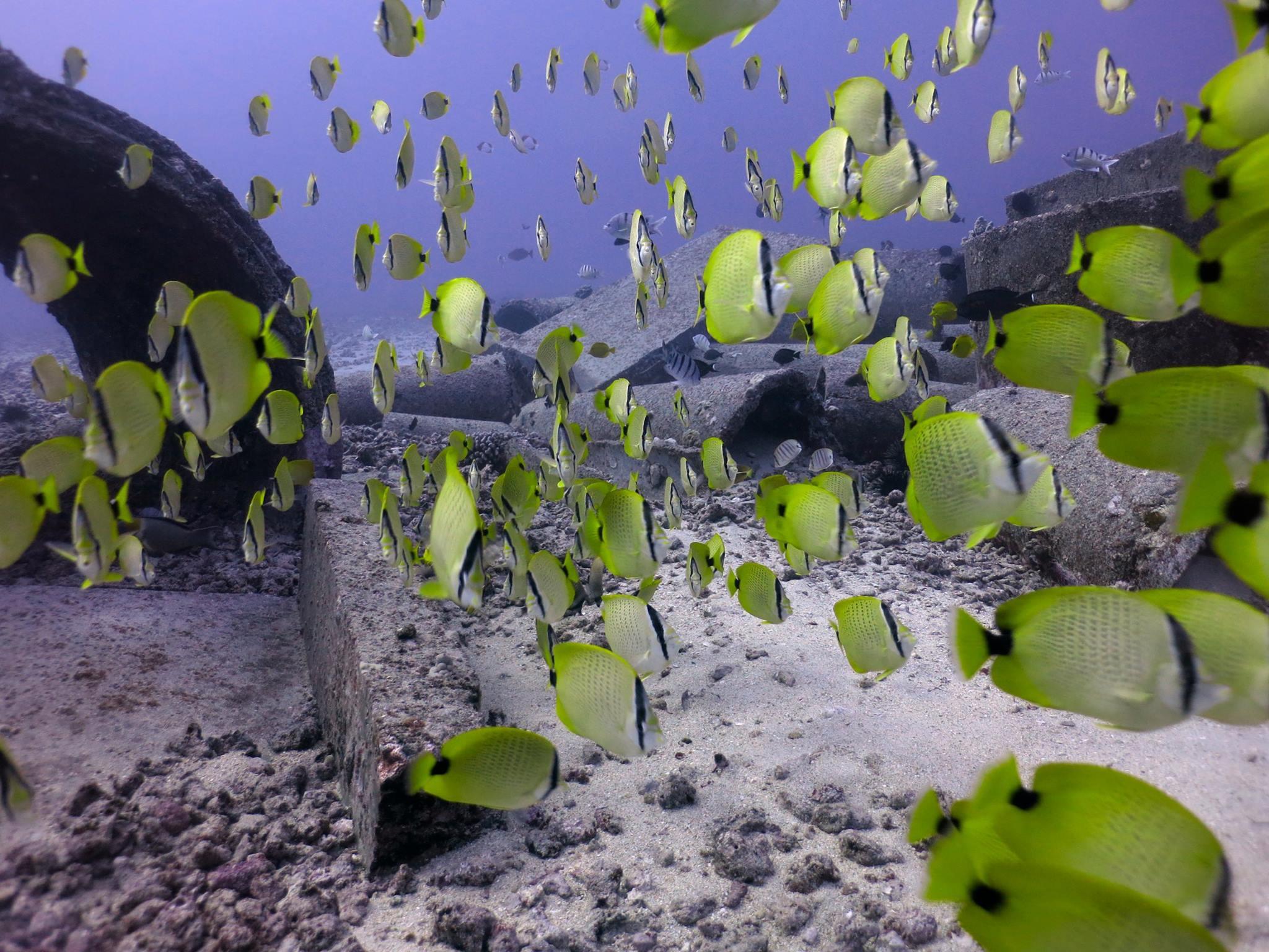 Millet Butterflyfish School