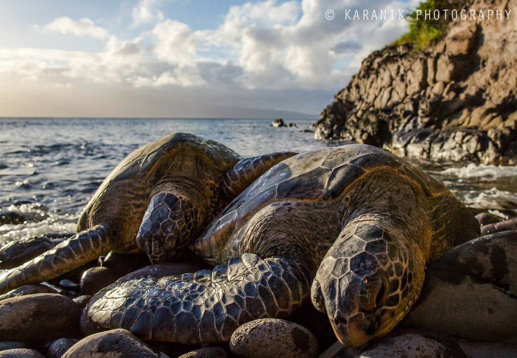 Maui Sea Turtles