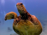 3-finned Green Sea Turtle