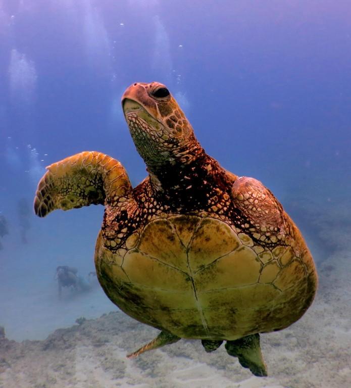 3-finned Green Sea Turtle