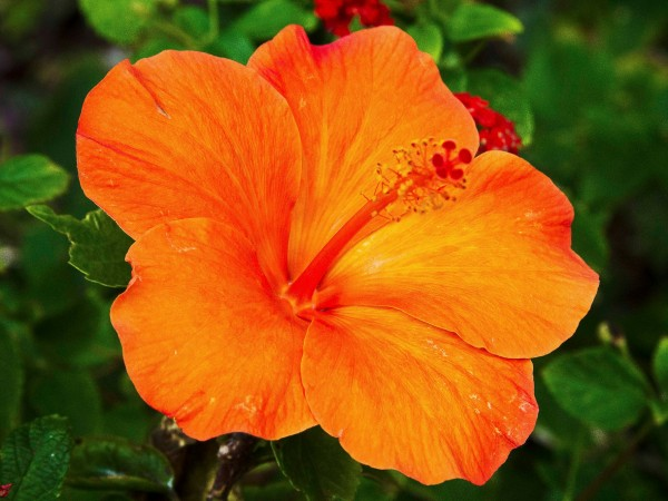 orange-hibiscus