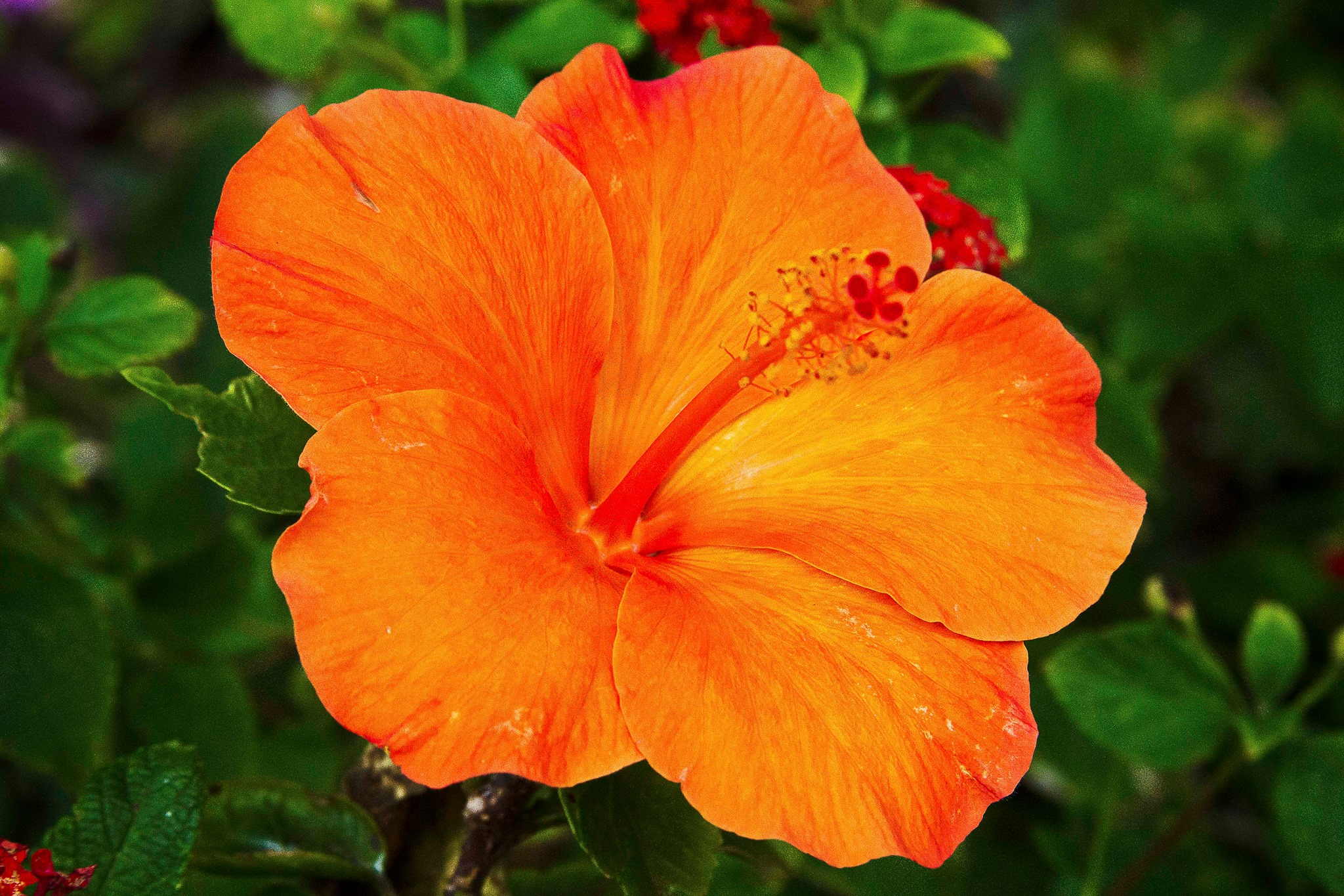hibiscus archives  hawaii picture of the day, Beautiful flower