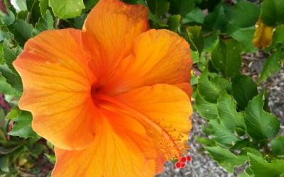 Orange Hibiscus, Hawaii