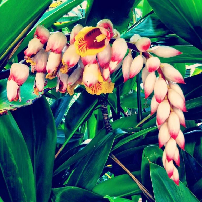 Shell ginger, Hualalai