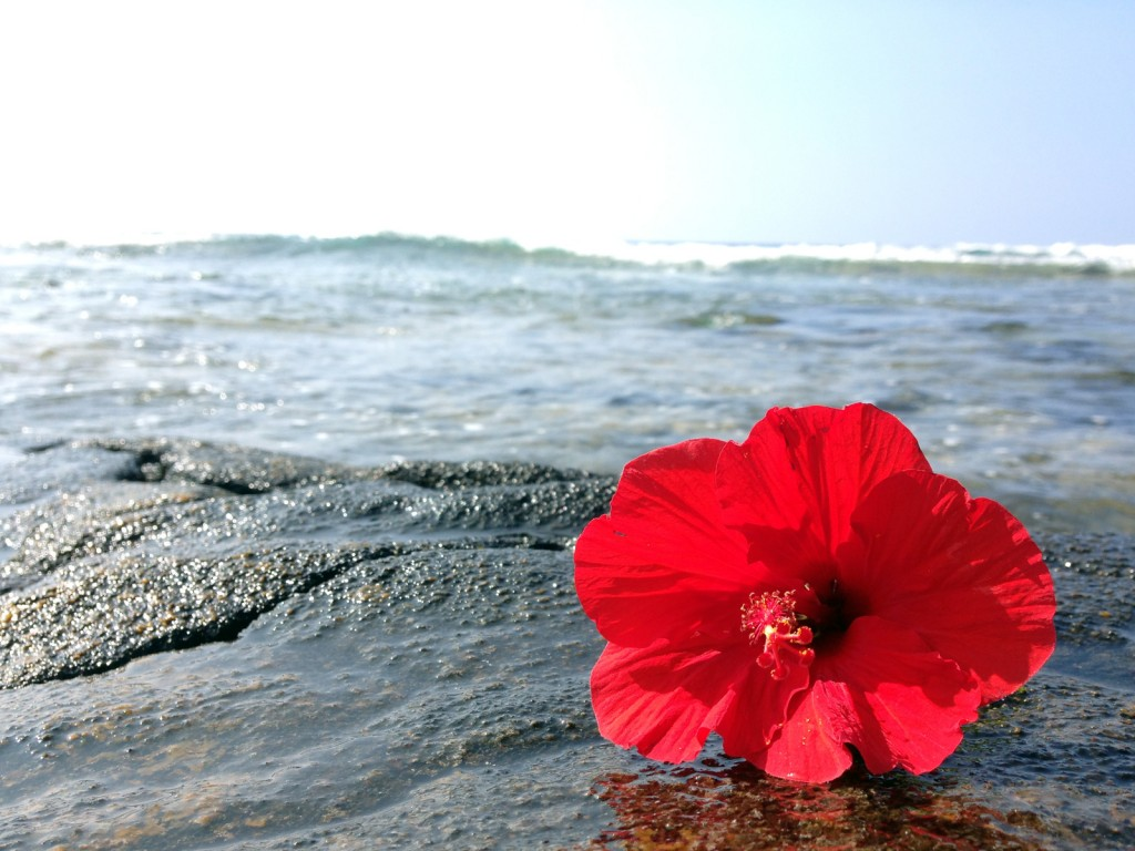 red-hibiscus-at-ocean